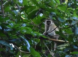 Vervet monkey, Pemba Island
