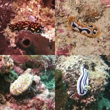 Nudibranchs, Pemba, Zanzibar