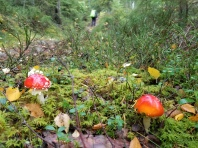 Magic mushrooms abound