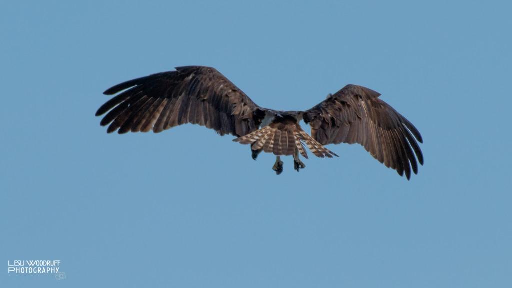 Osprey in predator mode © Lesli Woodruff 2020