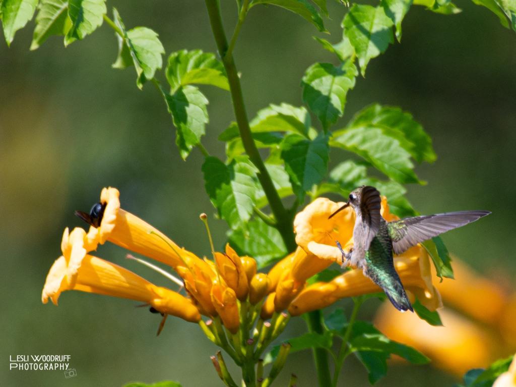 Hummingbird © Lesli Woodruff 2020